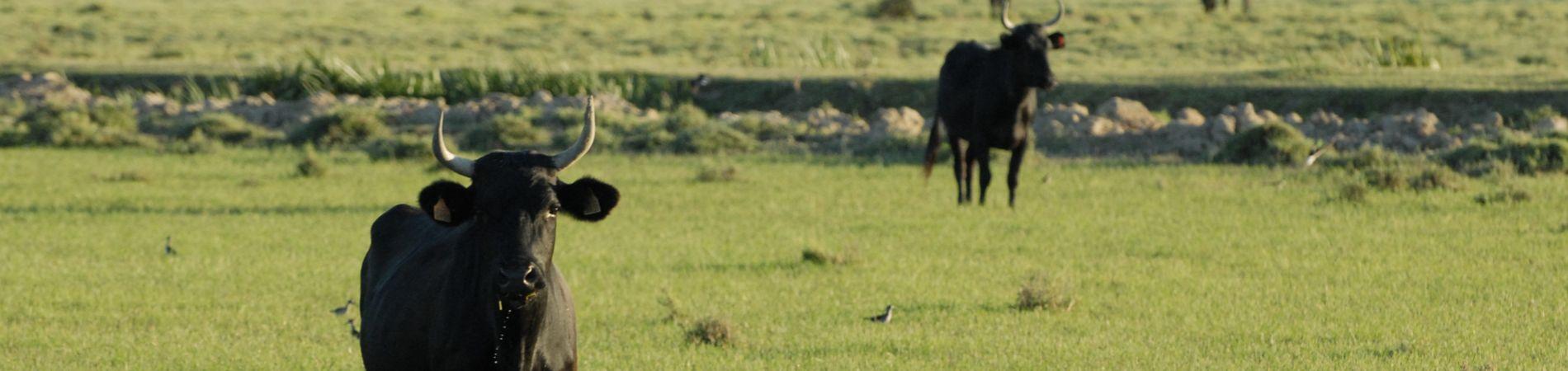 Les taureaux des manades Narbonnaises